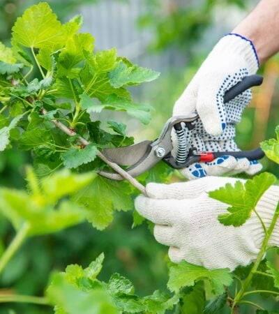 Przycinanie krzewów - kiedy przycinać?