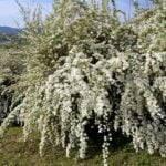 kwitnące berberysy w ogrodzie